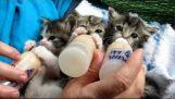 Τα γατάκια απολαμβάνουν το γάλα τους