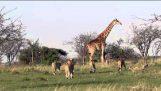 Καμηλοπάρδαλη προστατεύει το μικρό της από αγέλη λιονταριών