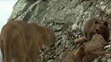 टेडी भालू और तेंदुआ