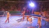 Lions útok thiriodamastes cirkus z Ukrajiny