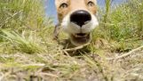 狐狸窃取和试图吃 GoPro 相机