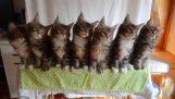 7 synchronized kittens