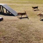 Σκύλοι εναντίον τηλεκατευθυνόμενου αυτοκινήτου