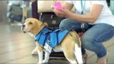 一只狗在机场的服务的丢失