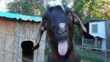 एक बहुत ही खूबसूरत बकरी