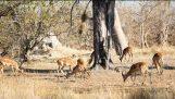 豹子攻击: 从高大的树到伏击黑斑羚的豹子跳转