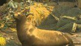 Το θυμωμένο θαλάσσιο λιοντάρι