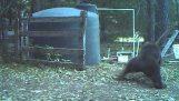 oso Instant Karma es golpeado en las pelotas para jugar con mi tanque de agua