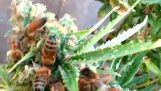 Bees Making Cannabis Honey