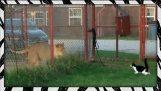 Brave housecat challenges LION