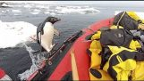 Penguin Jumps on Board Research Boat om hallo te zeggen