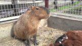 Suetoshi ranch killinger, pony og capybara