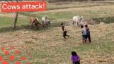 Twerking Party Goers Chased Away by Herd of Cows