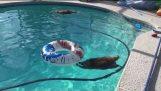 По-добре от плуване с делфини; плуване с миещи мечки!