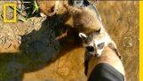 可爱的浣熊让婴儿人类朋友