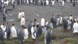 Cat vs penguins