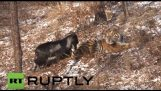A tiger becomes friends with a goat
