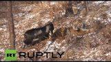 Un tigre se lie d'amitié avec une chèvre