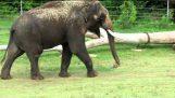 Elefante graffia la pancia con il suo pene