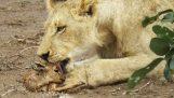 जब शेर भेड़ का बच्चा के साथ लेट जाता है