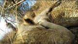 GoPro: Lioness Hunts Down a Buck with Kevin Richardson