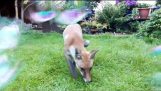 Fox and Bubbles