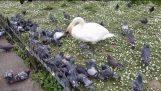 Pigeon Slinger in Regents Park!