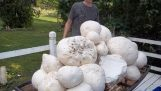 Giant Cammel Mushroom moeder belasting!