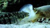 Concha cónica de geographus neto alimentándose de peces para dormir