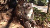 Bir koala gözyaşları koyar