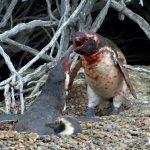 Ένας άγριος καβγάς μεταξύ πιγκουίνων