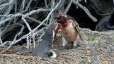 Ожесточена ред между пингвини