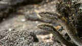 新生兒鬣蜥反對饑餓的蛇