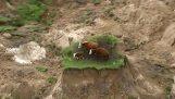 วัวอยู่หน้าเกาะของสิ่งสกปรกหลังจากแผ่นดินไหว