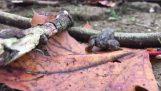 Ο αδέξιος βάτραχος