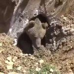 Διάσωση αρκούδας από σηπτική δεξαμενή
