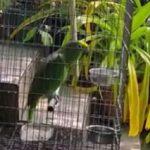 """Ένας παπαγάλος τραγουδά το """"Chandelier"""""""
