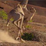 Λέαινα προσπαθεί να σταματήσει μια καμηλοπάρδαλη