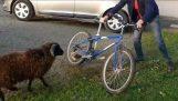 Κριάρι εναντίον ποδηλάτη