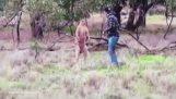 Guy donne le coup de poing dans un kangourou