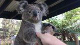 Χαιρετίζοντας τα ζώα της Αυστραλίας