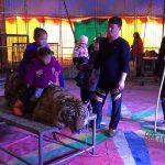 Μια τίγρης δένεται σε τραπέζι, για φωτογραφίες
