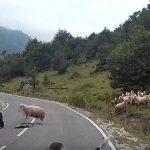 Το πρόβατο δολοφόνος επιτίθεται