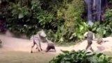 Ζέβρα επιτίθεται σε υπάλληλο ζωολογικού κήπου