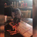 Μια μαϊμού ξεφλουδίζει ένα καρότο