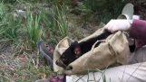 Um diabo da Tasmânia lançado
