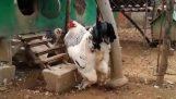 विशाल मुर्गा