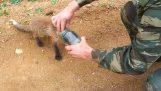 Αλεπού ζητά βοήθεια από τους ανθρώπους