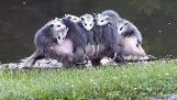 Η μαμά οπόσουμ πάει μια βόλτα με την οικογένεια