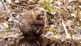 Beaver делает ванну